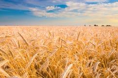 金黄收获准备好的麦子 图库摄影