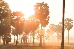 金黄日出在亚洲扇叶树头榈棕榈附近发光下来在ric 库存图片