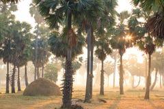 金黄日出在亚洲扇叶树头榈棕榈附近发光下来在ric 免版税库存图片