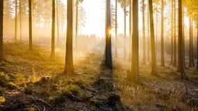 金黄日出在森林 库存图片