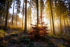 金黄日出在森林 免版税库存照片