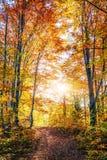 金黄早晨太阳在绿草在秋天发出光线 背景美好的做的本质向量 库存图片