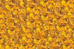金黄明亮的下落的槭树离开背景秋天 库存照片
