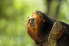 金黄朝向的狮子绢毛猴 免版税库存照片
