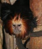 金黄朝向的狮子绢毛猴 免版税库存图片