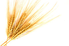 金黄查出的麦子 免版税图库摄影