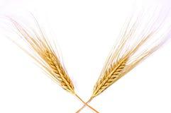 金黄查出的麦子 免版税库存图片