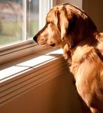 金黄查找猎犬视窗 库存图片