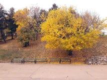 金黄树在公园 库存图片