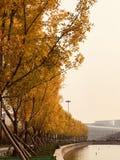 金黄树秋天在公园 免版税图库摄影