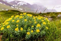 金黄根,不可思议的植物可能愈合很多疾病 免版税库存照片