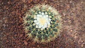 金黄桶式仙人掌或Echinocactus grusonii在植物园里 关闭与钉的圆的绿色仙人掌科 Echinocactu 库存照片