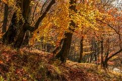 金黄棕色叶子的森林在晴天 免版税库存照片