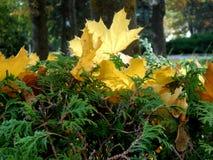 金黄槭树叶子在绿色灌木说谎在一个晴天 免版税库存照片