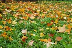 金黄槭树叶子落 免版税库存图片