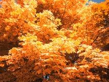 金黄槭树叶子 免版税库存照片