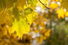 金黄槭树在秋天城市公园离开 库存照片