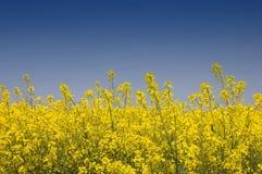 金黄油菜籽黄色 库存照片
