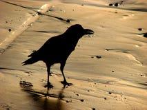 金黄海滩的乌鸦 免版税库存照片