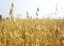 金黄燕麦的领域 免版税库存照片
