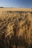 金黄燕麦 库存照片