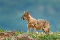 金黄狐狼,犬属葡萄球菌,在草和srtone,罗马尼亚,欧洲 从巴尔干的野生生物 打开枪口,豺狗行为场面为 免版税库存照片