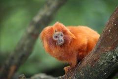 金黄狮子小的绢毛猴 图库摄影