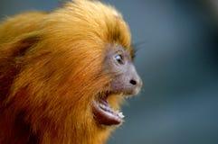 金黄狮子绢毛猴呼喊 库存照片