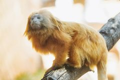 金黄狮子绢毛猴 通配的动物 库存照片