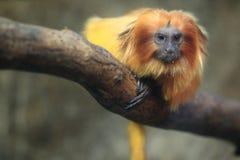 金黄狮子绢毛猴 免版税库存图片