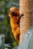 金黄狮子绢毛猴 库存图片