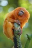 金黄狮子绢毛猴 免版税图库摄影