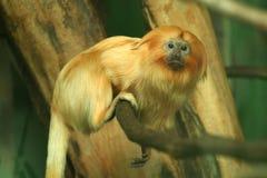 金黄狮子绢毛猴 免版税库存照片