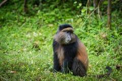 金黄猴子画象  库存图片
