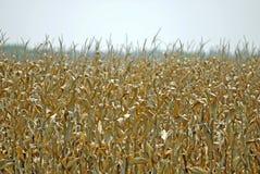 金黄玉米的燃料 库存图片
