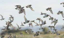 金黄珩科鸟在飞行中Pluvialis apricaria群  免版税库存照片
