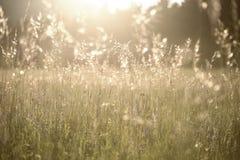 金黄由后照的光的梦想的草甸 免版税库存图片