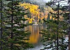 金黄白杨木在洛矶山国家公园 免版税库存图片