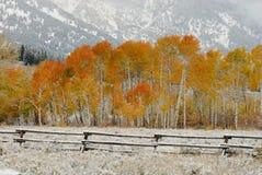 金黄白杨木的秋天 库存图片