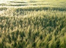 金黄的大麦 免版税库存图片