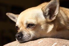 金黄的奇瓦瓦狗 库存照片