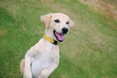 金黄的小狗 库存图片