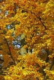 金黄的山毛榉 图库摄影