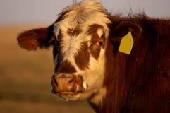 金黄的母牛 库存照片