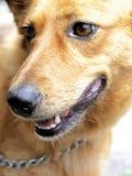 金黄的狗 库存照片