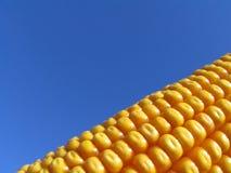 金黄的玉米 免版税库存照片