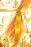 金黄的玉米 图库摄影