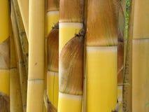 金黄的竹子 免版税图库摄影