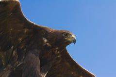 金黄的老鹰 免版税库存照片