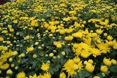 金黄的菊花 库存图片